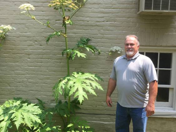 hogweed2-rober emma virginia US dangerous plants
