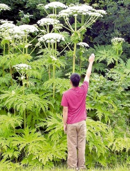 CNSPhoto-Hogweed